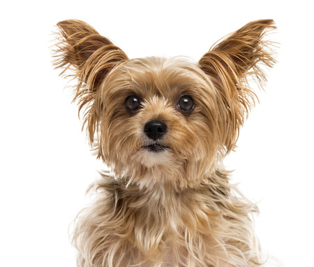 Close-up of a Yorshire Terrier in front of a white background
