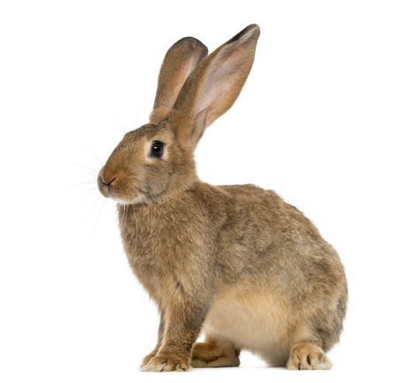 Rabbit sitting in front of a white background Stockfoto