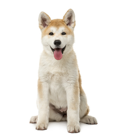 Akita Inu sitting in front of a white background