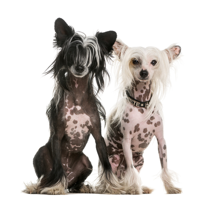 Two Chinese Crested dogs sitting in front of a white background Stock Photo