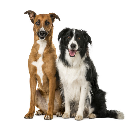 Crossbreed and Border Collie sitting in front of a white background Stockfoto