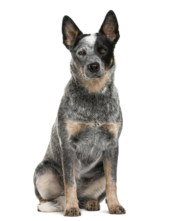 Australian Cattle Dog sitting in front of a white background Stock Photo