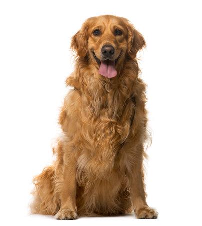 Golden Retriever sitzt vor einem weißen Hintergrund Standard-Bild - 42671200