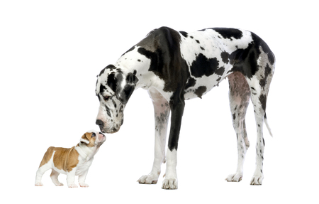 Great Dane looking at a French Bulldog puppy in front of a white background Foto de archivo