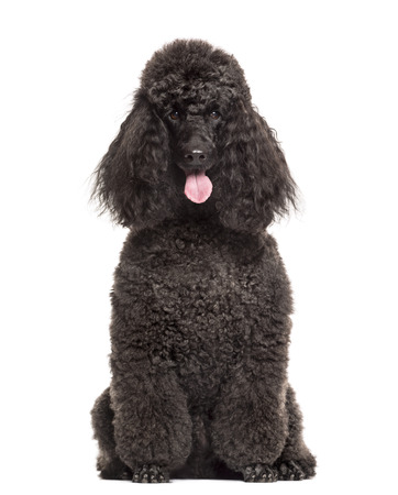 Poodle sitting in front of a white background Foto de archivo