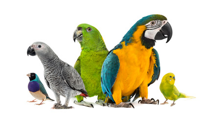 Goup of parrots in front of a white background