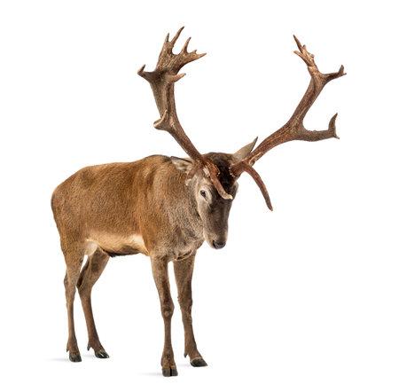 붉은 사슴 사슴 흰색 배경 앞에