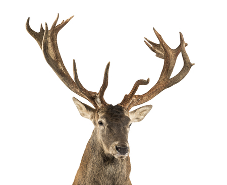 Close-up of a Red deer stag in front of a white background Stockfoto