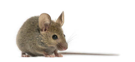 Wood mouse in front of a white background
