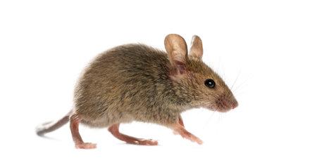 Holz-Maus vor einem weißen Hintergrund Standard-Bild - 45551654
