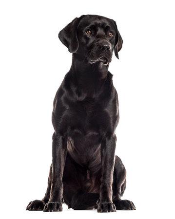 Labrador sentado delante de un fondo blanco Foto de archivo - 45551657