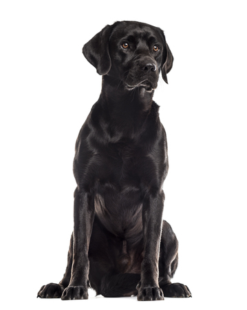 Labrador sitting in front of a white background Stockfoto