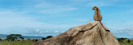 岩の上に座っていると離れて、タンザニアのセレンゲティを見てチーター 写真素材