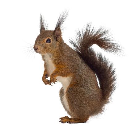 흰색 배경 앞의 붉은 다람쥐 스톡 콘텐츠