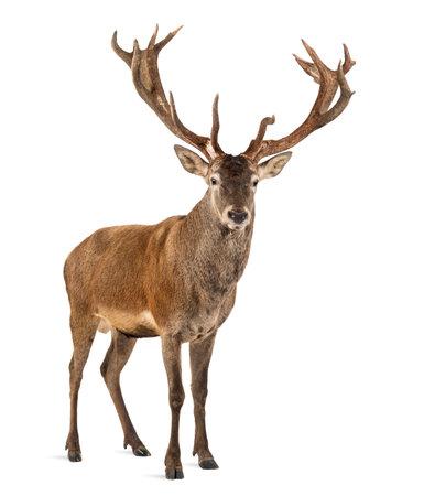 흰색 배경 앞의 붉은 사슴 사슴 스톡 콘텐츠