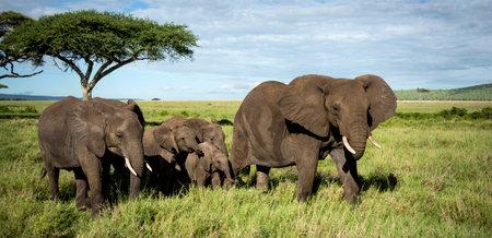 タンザニアのセレンゲティを歩く象の群れ
