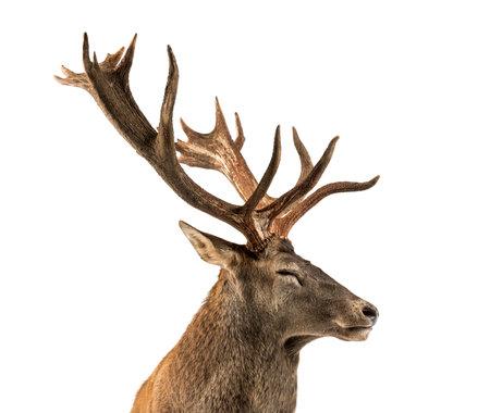 白い背景の前で赤いシカ鹿のクローズ アップ 写真素材