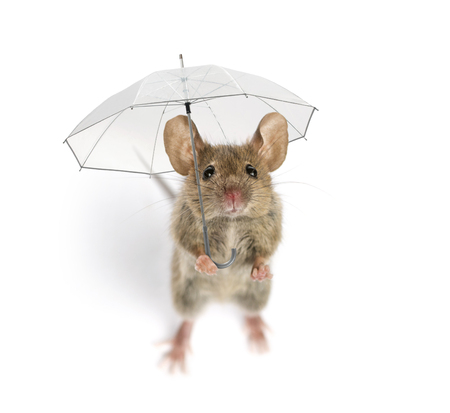 High view of a Wood mouse holding an umbrella in front of a white background Banco de Imagens
