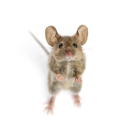 High view of a Wood mouse looking in front of a white background