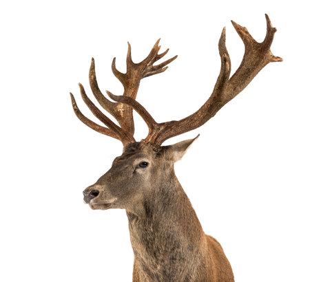 흰색 배경 앞의 붉은 사슴 사슴의 근접