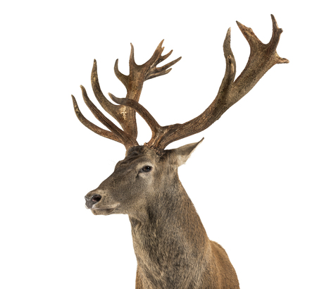 Close-up of a Red deer stag in front of a white background Banque d'images