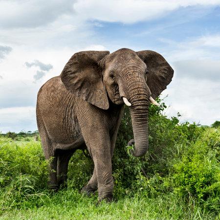 タンザニアのセレンゲティを歩くゾウ 写真素材