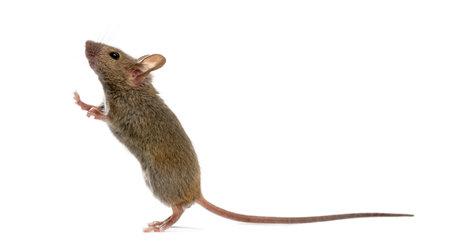 白い背景の前で見上げる木マウス