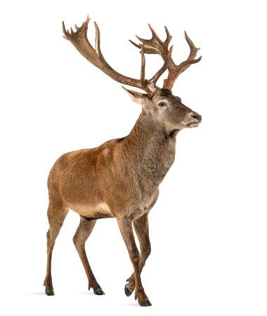 白い背景の前でレッド ディア鹿