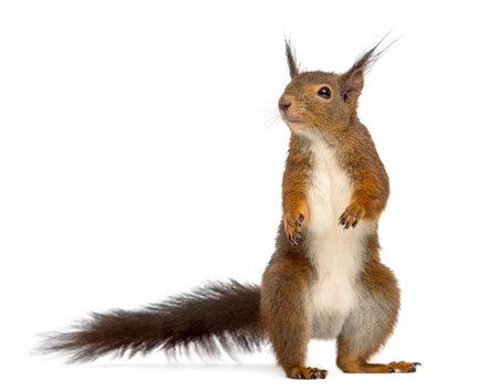 Écureuil rouge devant un fond blanc