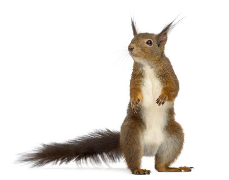 Red squirrel in front of a white background Stock Photo - 45568850