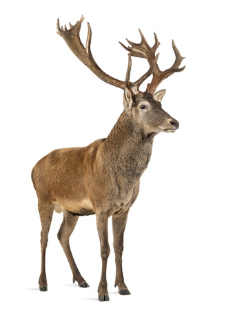 Red deer stag in front of a white background Stockfoto