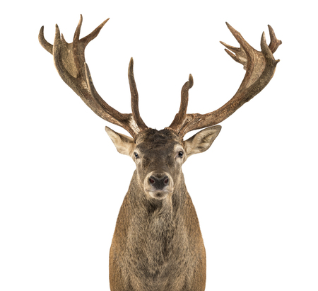 Close-up of a Red deer stag in front of a white background Archivio Fotografico