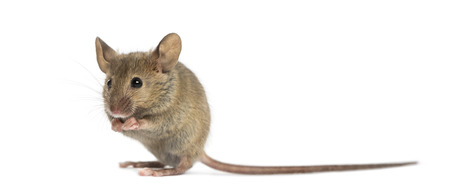 Wood mouse cleaning itself in front of a white background Zdjęcie Seryjne
