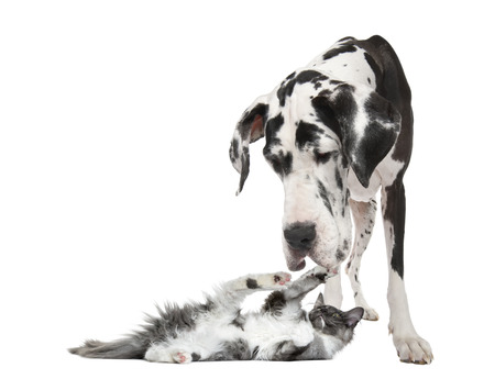 Maine coon kitten playing with a harlequin Great Dane (4 years) in front of a white background Archivio Fotografico