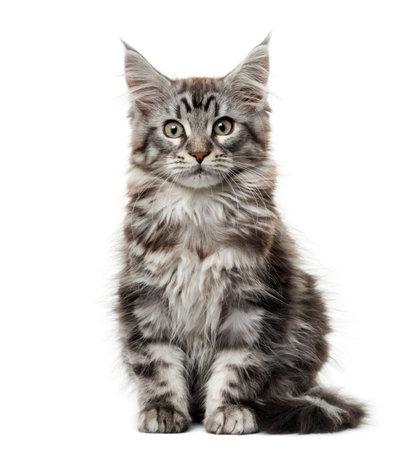 白い背景の前でメインクーン子猫 写真素材
