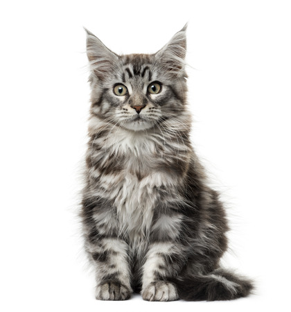 Maine Coon gattino di fronte a sfondo bianco Archivio Fotografico - 45581502