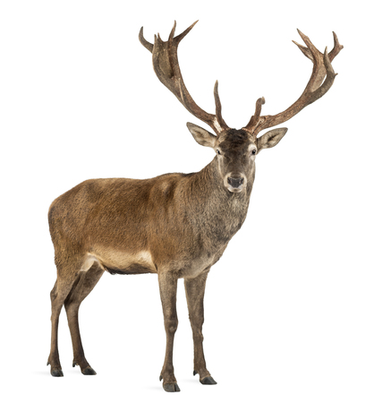 Red deer stag in front of a white background Archivio Fotografico