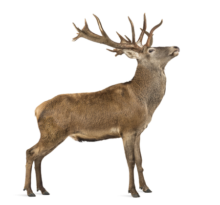 Rothirsch vor einem weißen Hintergrund Standard-Bild - 45581514
