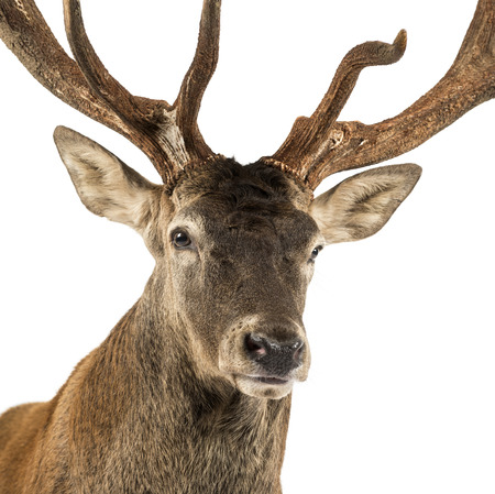 Close-up of a Red deer stag in front of a white background Banco de Imagens