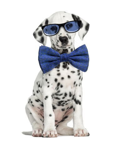 Front view of a Dalmatian puppy  wearing glasses and sitting, facing, isolated on white