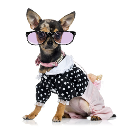 Dressed Chihuahua (1.5 years old) wearing glasses