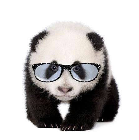 白い背景の前にメガネをかけて若いジャイアント パンダ 写真素材
