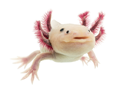 Axolotl (Ambystoma mexicanum) in front of a white background Stockfoto