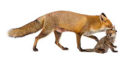 Madre di volpe che trasporta il suo cucciolo (7 settimane) di fronte a uno sfondo bianco Archivio Fotografico - 46063833