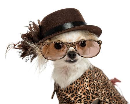 Primer plano de una chihuahua que lleva un sombrero y gafas, aislado en blanco
