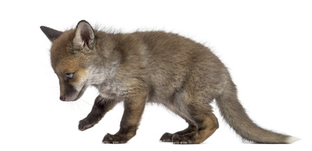 Fox cub (7 weeks old) walking in front of a white background