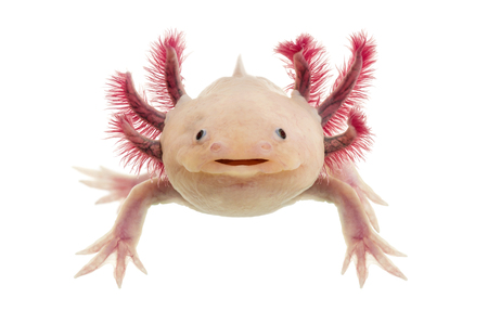 Axolotl (Ambystoma mexicanum) in front of a white background Reklamní fotografie