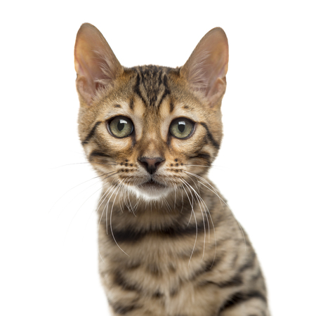 Close-up of a Bengal in front of a white background