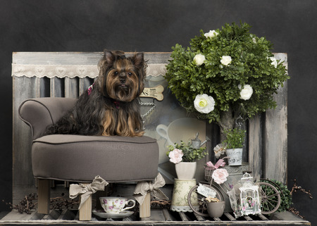 Yorshire terrier in front of a rustic background