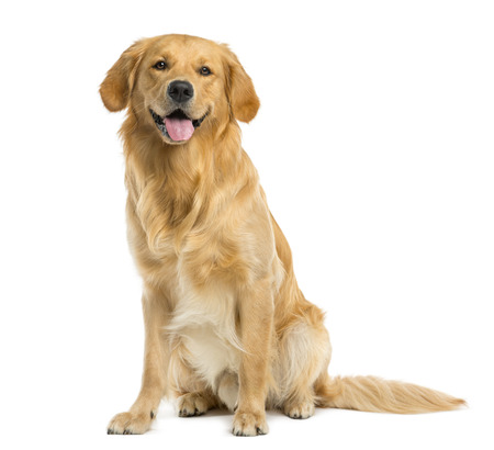 Golden Retriever sitting in front of a white background Archivio Fotografico